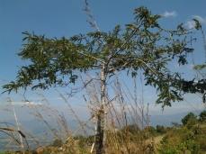 Tangkal Malaka